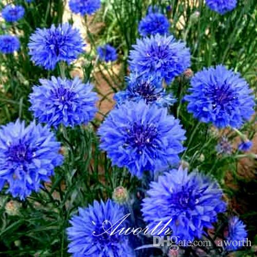 Acheter Bleu Fleur De Bleuet 400 Graines Ou Bouton De Bachelor
