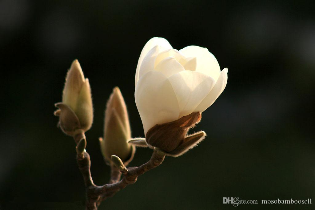 2019 Wholesale 20 Magnolia Denudata Magnolia Tree Seeds From