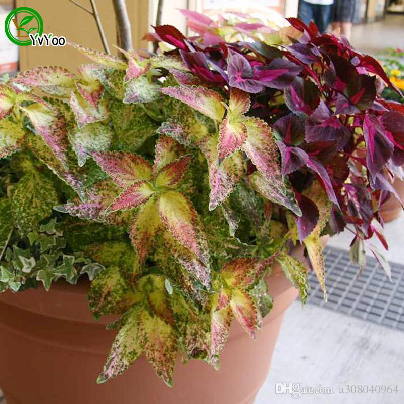 Coleus Samen Grassamen Sehr schöne Gartenpflanzen Dekorative DIY 30 Stück W003