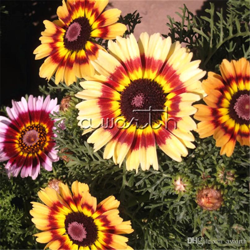 671ab0a725 2019 400 Seeds Colorful Chinese Painted Daisy Chrysanthemum Coccineum DIY  Home Garden Bonsai Landscape Flower Reseeds Easy Growing From Aworth, ...