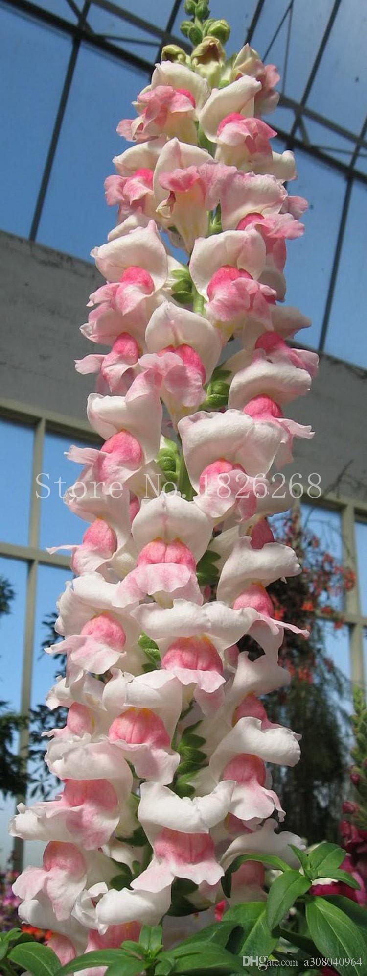 Bonsai blume Garten Balsam samen pflanzen snapdragon samen topfblumen Im freien pflanzen 30 stücke