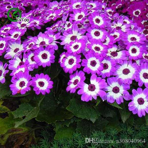 Mix Cineraria Samen Bonsai Samen Garten Pflanzen Blumensamen Jährliche Herb 30 Partikel / H024