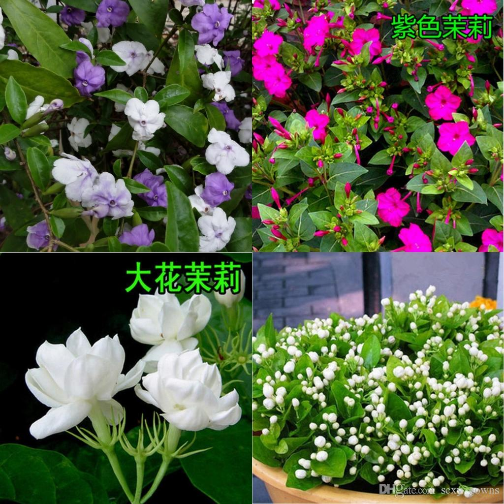 2018 jasmine genus aiton 100 jasmine flower seeds seeds seeds of 2018 jasmine genus aiton 100 jasmine flower seeds seeds seeds of southern chinese gardens perennial woody jasmine white seed color purple 1168 from izmirmasajfo