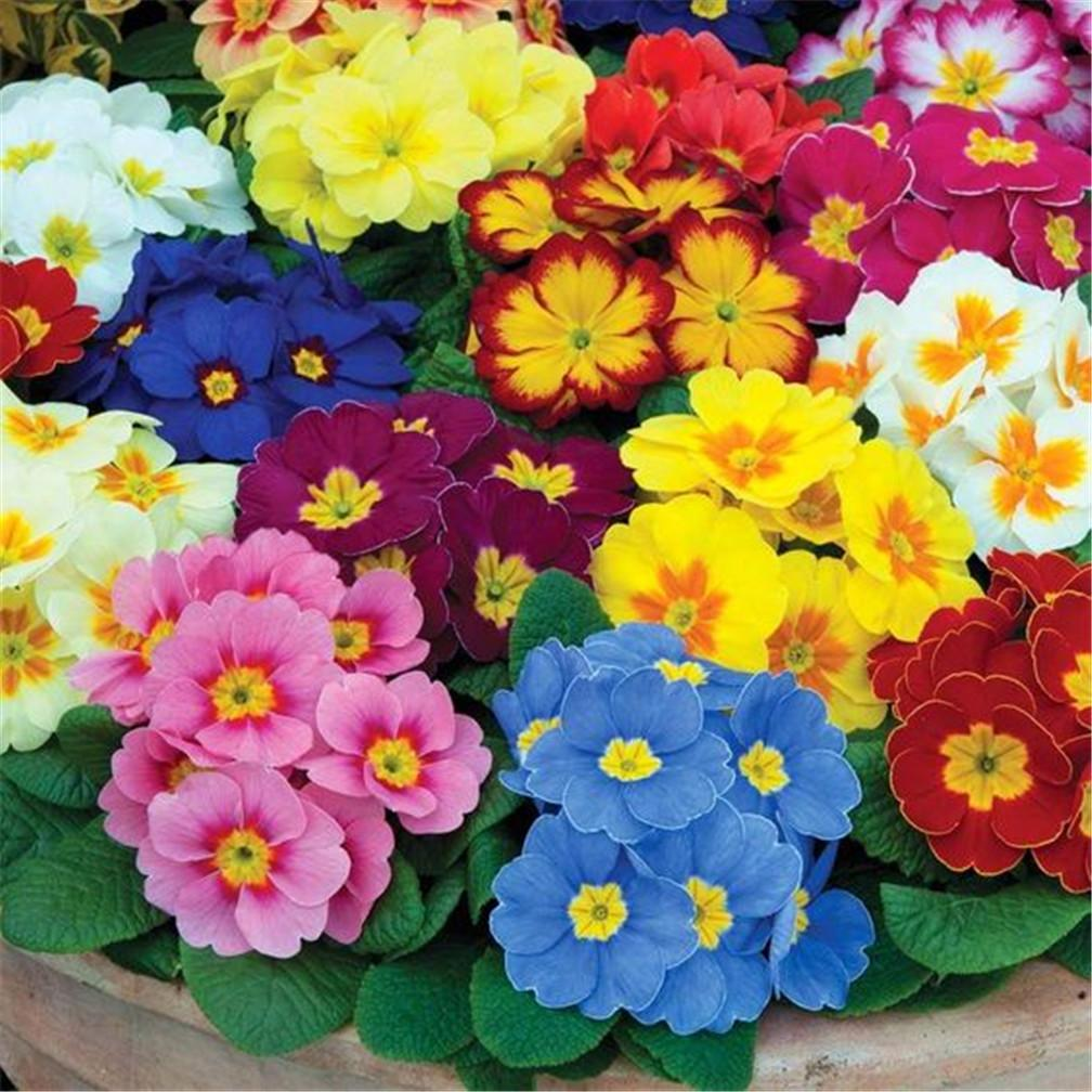 2018 Mixed Color Primula Flower 500 Seeds Low Maintaince Landscape