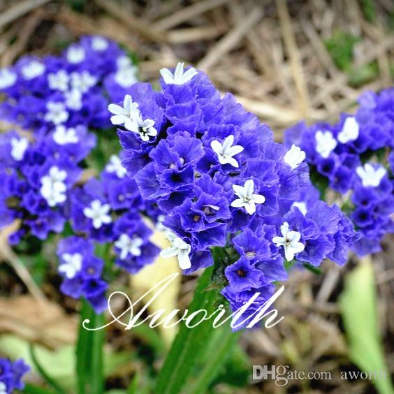 2018 statice blue purple color limonium sinuatum flower 100 seeds 2018 statice blue purple color limonium sinuatum flower 100 seeds easy to grow annual cutflower can used for dry flower from aworth 523 dhgate mightylinksfo