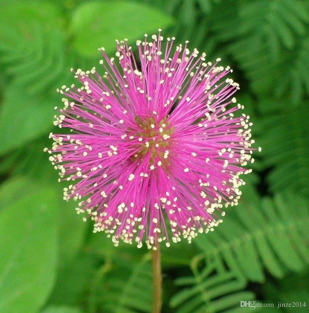 Sensitive Plant Seeds Mimosa Pudica Fun Potted Bonsai Seeds Garden
