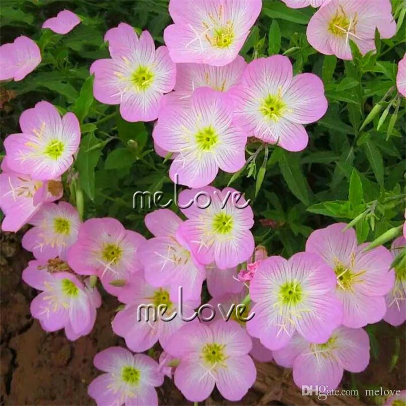 2018 pink evening primrose flower seeds fragrant herb flower diy 2018 pink evening primrose flower seeds fragrant herb flower diy garden plant variety landscape container flower from melove 493 dhgate mightylinksfo