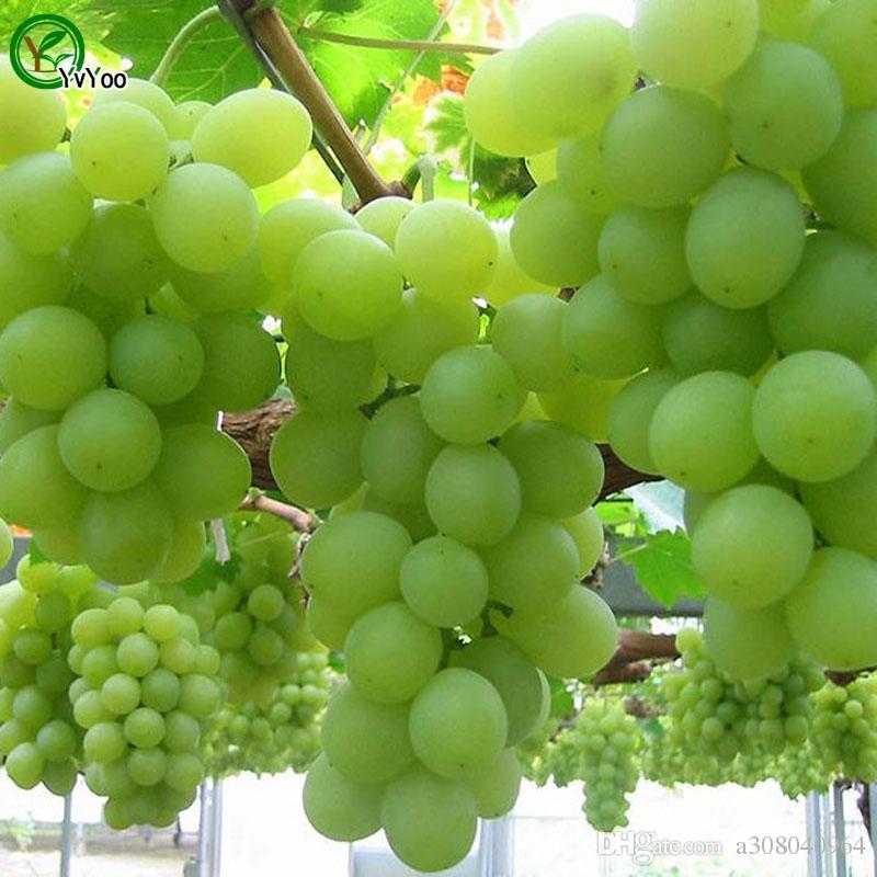 Green Grapes Seeds Organic Fruit Tree Seeds Home Garden Fruit Plant ,Can Be Eaten! G016