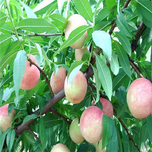 2018 Dwarf Bonanza Peaches Peach Tree Seeds Fruit Bonsai Seeds