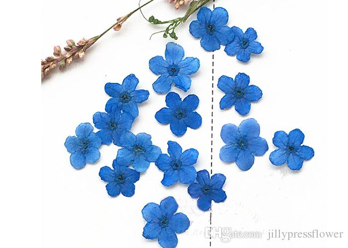 Color Small Dried Flowers Do Not Forget Me Plant Specimens, Pressed Flower Arrangements For Nail / Postcard Decoration Wholesales