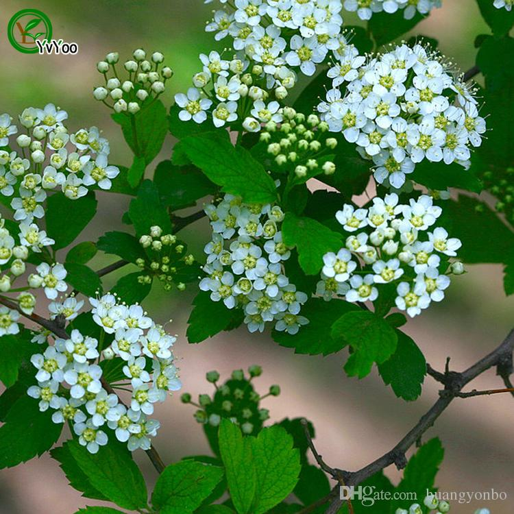 Spiraea Seeds Bonsai Seeds Garden Plants Flower Seeds Annual Herb 50 Particles / J06