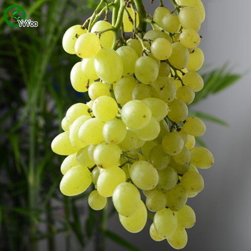 Semi di uva verde Piante da giardino Semi di frutta e verdura biologica Bonsai 30 pezzi G016