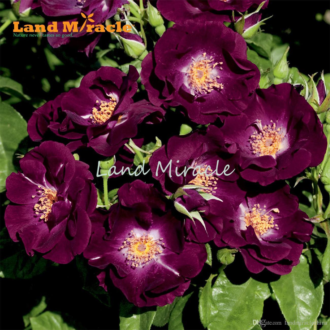 Rosa Rampicante In Vaso acquista cina rosa rampicante semi, 100 semi / pack, cortile pianta semi di  rosa viola bonsai casa giardino w / forte fragranza bonsai fiore in vaso a