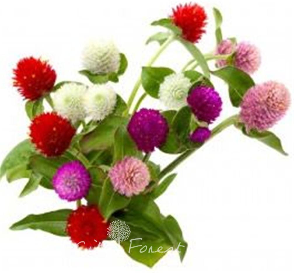 2018 400 Mixed Color Gomphrena Flower Seeds Easy To Grow Ideal