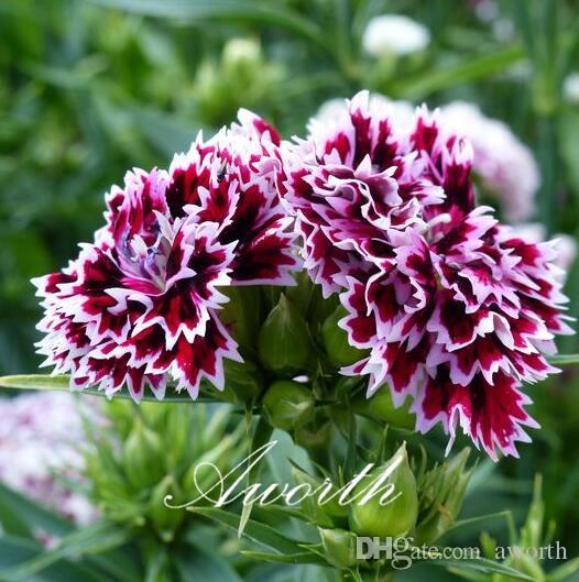Double petal dianthus flower 500 seeds sweet william mixed color double petal dianthus flower 500 seeds sweet william mixed color easy growing diy home garden perennial flowering plant high germination mightylinksfo