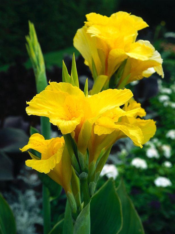 팩 를 칸나 씨앗 발코니 테라스 가든 화분 분재 식물 씨앗 농장 칸나 씨 A010
