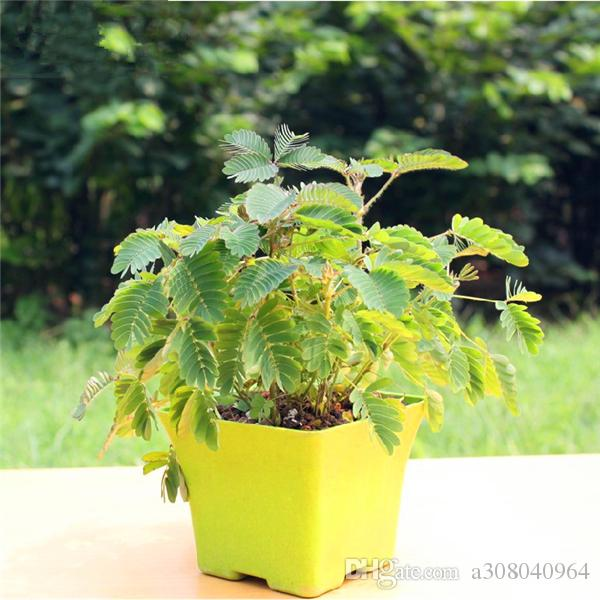 20 Mimosa Tree Seeds Indoor Plants Flowers New Arrival