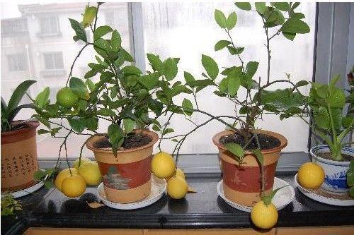 미니 화분의 레몬 종자 영양 맛있는 과일 씨앗 노란색 레몬 종자 정원 장식 공장 D41