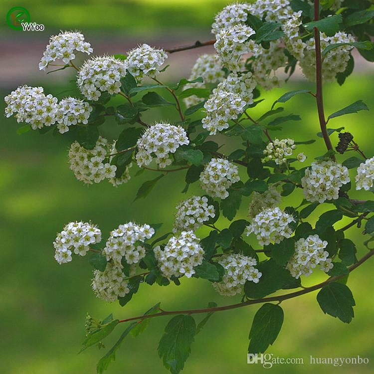 Spiraea Seeds Bonsai Seeds Garden Plants Flower Seeds Annual Herb 50 Particles / J06