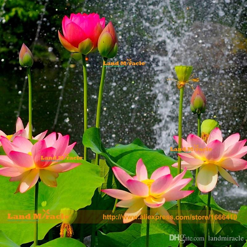 Rooftop Garden Pond Lotus Seeds, 1 Seeds/pack, Chinese Style Aquatic Water Llily, Lotus flower Seeds