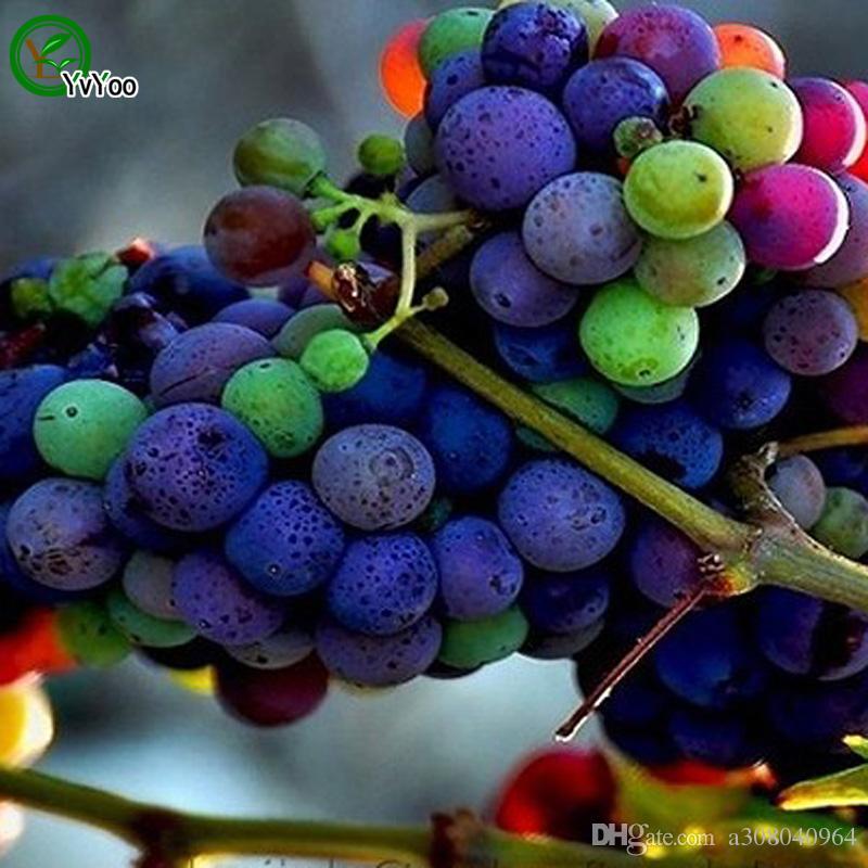 Bunte Traubensamen Bio-Obstbaum-Samen-Hausgarten-Fruchtpflanze, kann gegessen werden! 30 Stück G018.
