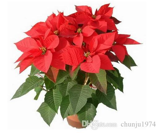 2019 Hot Bag Poinsettia Seedseuphorbia Pulcherrimapotted Plants