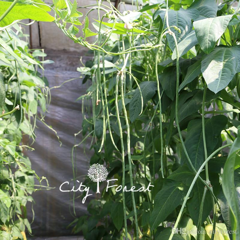 Yard Long Bean Chinesische Nudelbohne Gemüsesamen 50 Teile / beutel Einfach zu Wachsen Heirloom Gemüsesamen Hohe Ausbeute