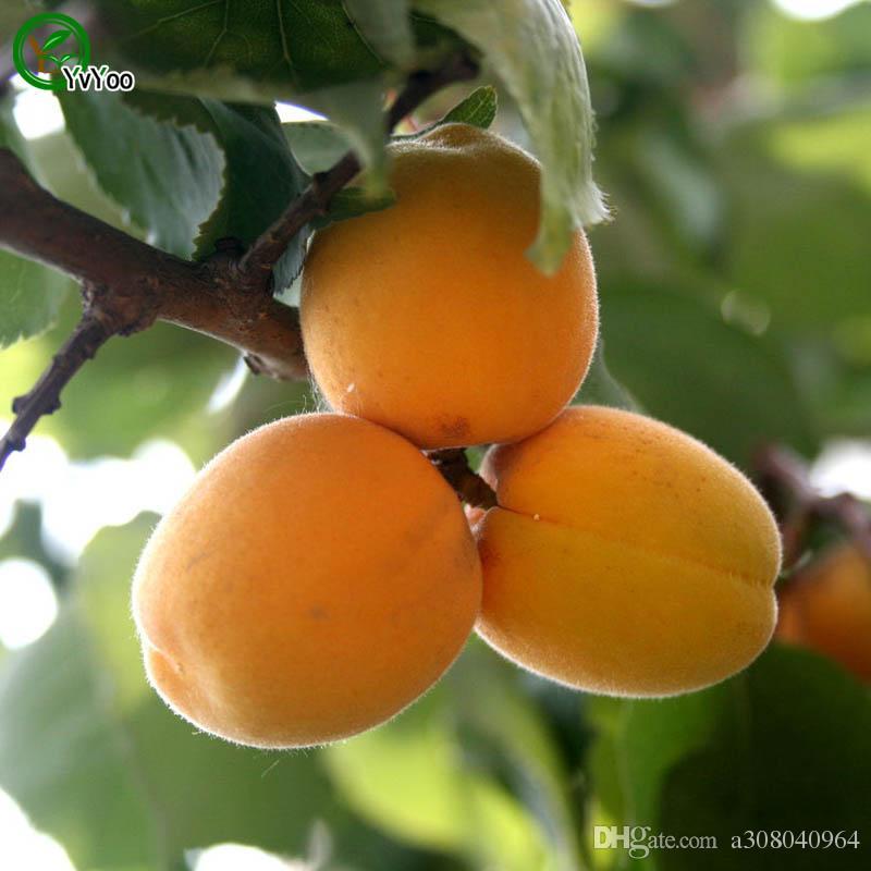 살구 나무 씨앗 맛있는 과일 미니 화분과 과일 나무 씨앗 흥미로운 분재 공장 5 입자 / V017