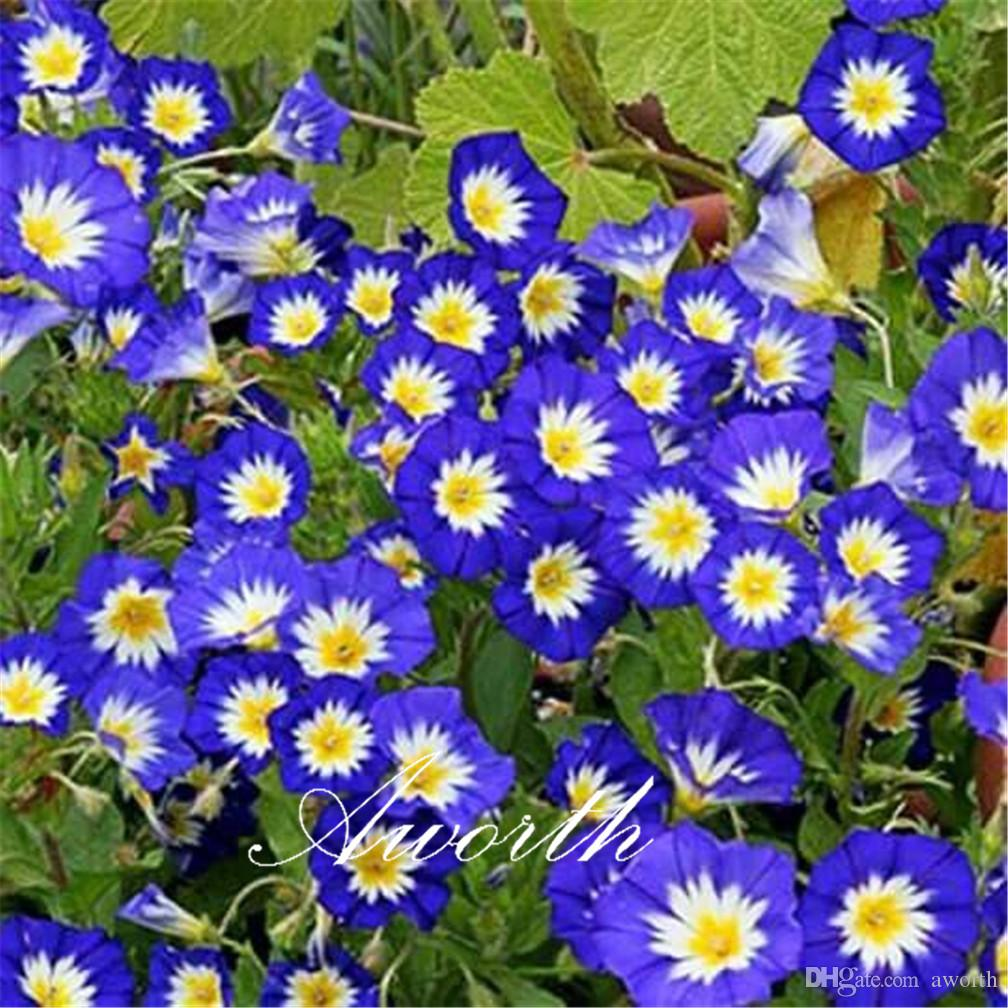 dwarf morning glory convolvulus tricolor 20 seeds bag easy to grow from seeds perennial garden landscape flowering plant