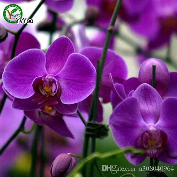 Daha fazla renk Güve orkide tohumları Çiçek Tohumları Kapalı Bonsai bitki 30 parçacıklar / u010