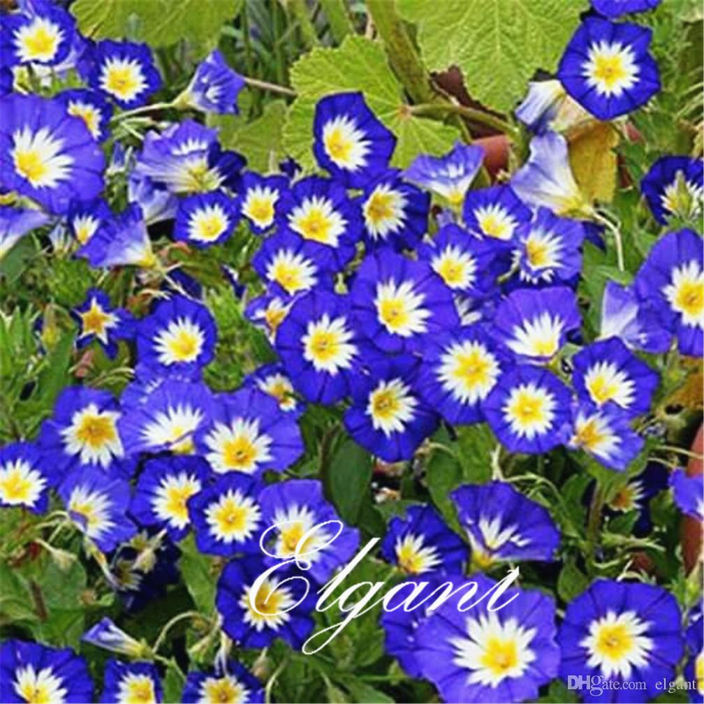 2019 Dwarf Morning Glory Convolvulus Tricolor 20 Seeds Easy Growing