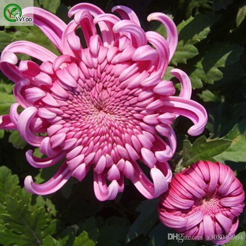 Красивый красный Китай Семена семян астеров для цветов бонсай завод для домашнего сада 30 частиц / лот W022