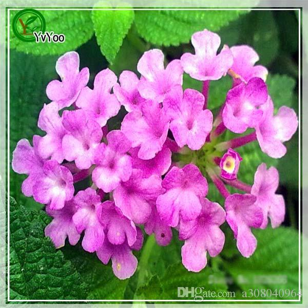 Lantana camara seeds Bonsai Seeds Garden Plants Flower Seeds Annual Herb 30 Particles / s013