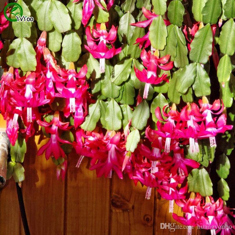 Semi di cactus granchio Semi di fiore bonsai Piante in vaso Fiori 30 Particelle / Sacchetto F014