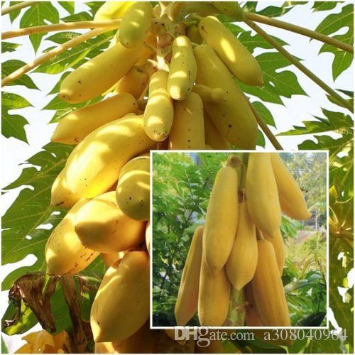 Bonsai plant Yellow Gold Papaya seeds Delicious Fruit, Seeds Unique Very RARE garden decoration plant 50pcs A012