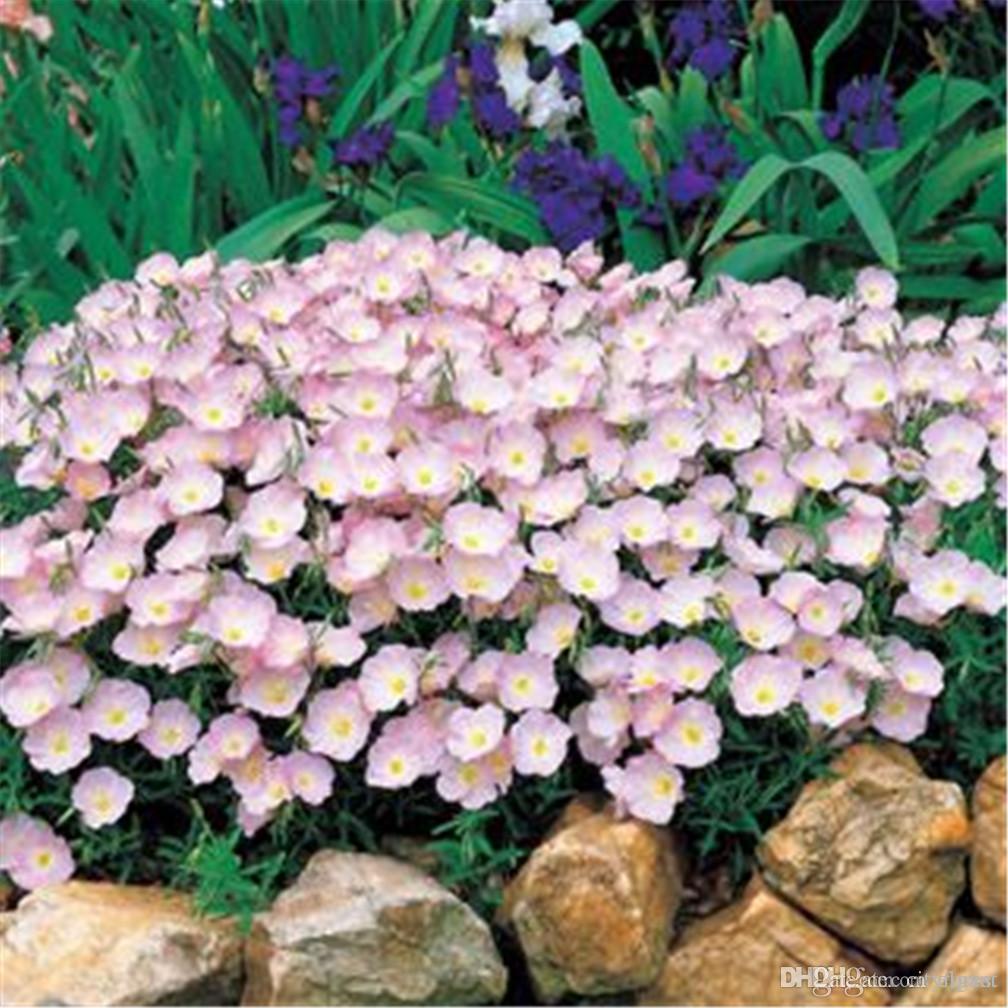Online Cheap Pink Evening Primrose Flower Seeds Fragrant Herb Flower