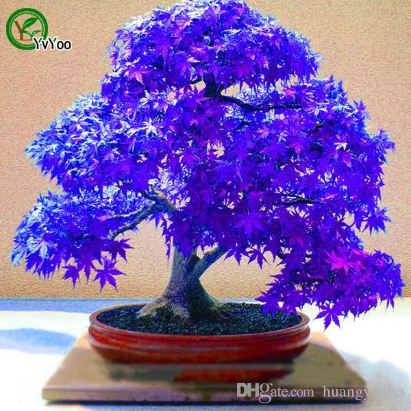 Maple Seeds Bonsai Flower Seeds Potted Plants Flowers 20 Particles / Bag r012