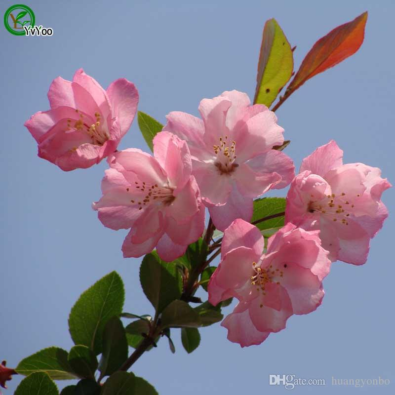 7b2b997a1b566 Begonia Seeds More Color Charming Chinese Flower Seeds Bonsai Plants ...