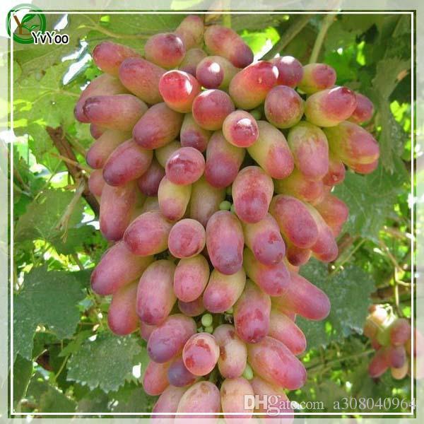 Семена винограда Органические фруктовые семена фруктовых деревьев Главная Садовый фруктовый завод, можно съесть! 50 шт. R014.