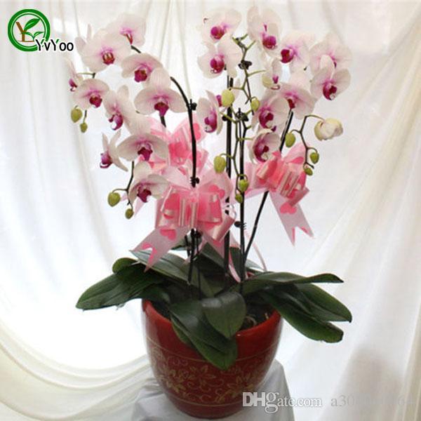Семена орхидеи на орхидеи Цветочные семена крытый бонсай 2 частицы / лот E024