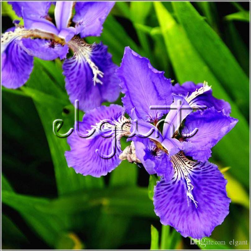 2019 20 Seeds Germanica Iris Blue Purple Flower Perennial Courtyard