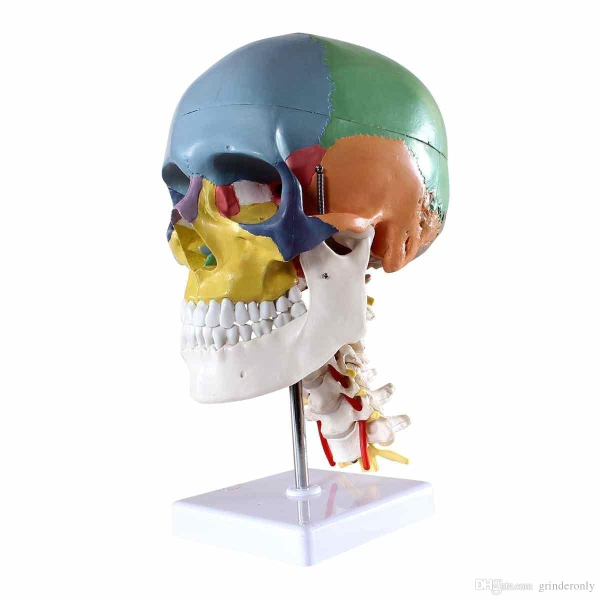 Life Size Human Anatomy Skeleton Anatomical Model for Sale Skull ...