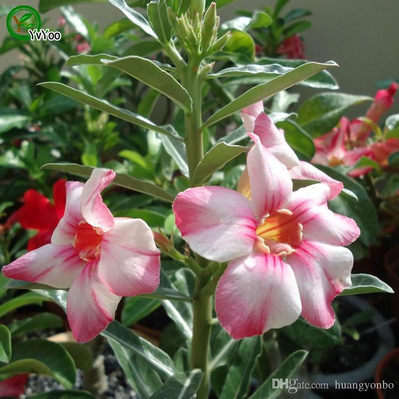 Daha renk Çöl gül tohumları Bonsai Balkon Çiçek Saksı Tohumları DIY Ev Bahçe 1 Parçacıklar / b018