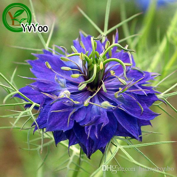 Multi color optional Persian flower Seeds Bonsai Seeds Garden Plants Flower Seeds Annual Herb 30 Particles / Q035