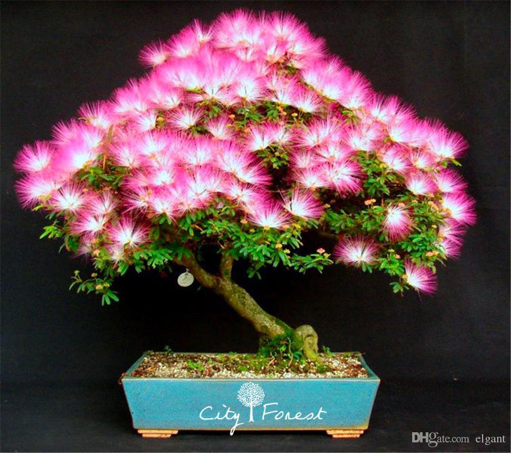 Online cheap 50 albizia julibrissin mimosa silk tree flower seeds online cheap 50 albizia julibrissin mimosa silk tree flower seeds diy home garden bonsai tree seeds by elgant dhgate mightylinksfo