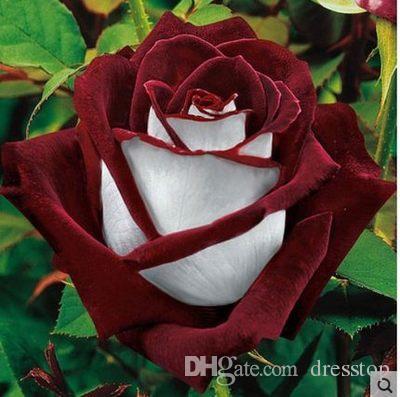 Freies Verschiffen-Mehrfarbenrose-Blumensamen * 100 Samen pro Paket * preiswerte Balkon-eingemachte verschiedene Blumen-Garten-Pflanzen