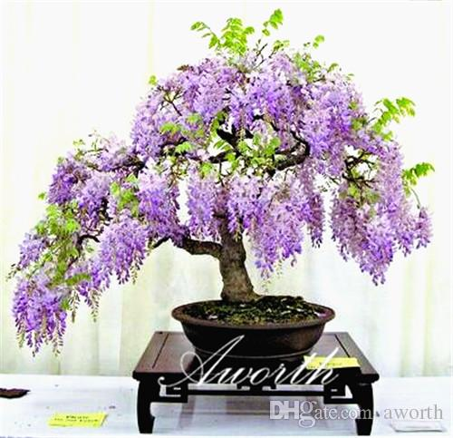 Wisteria Home In 2019: Wisteria Vine Flower 10 Seeds For Bonsai Or Yard Tree Easy