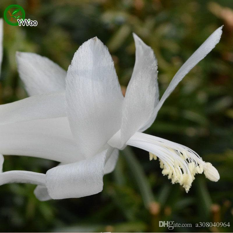 Краб кактус семена цветов семена крытый бонсай завод 30 частиц / лот F014