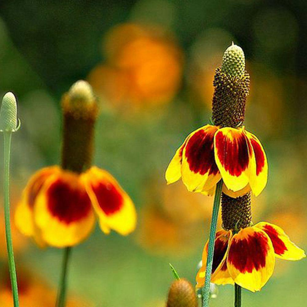 2018 30 Prairie Coneflower Flower Fairy Scented Home Seeds Red