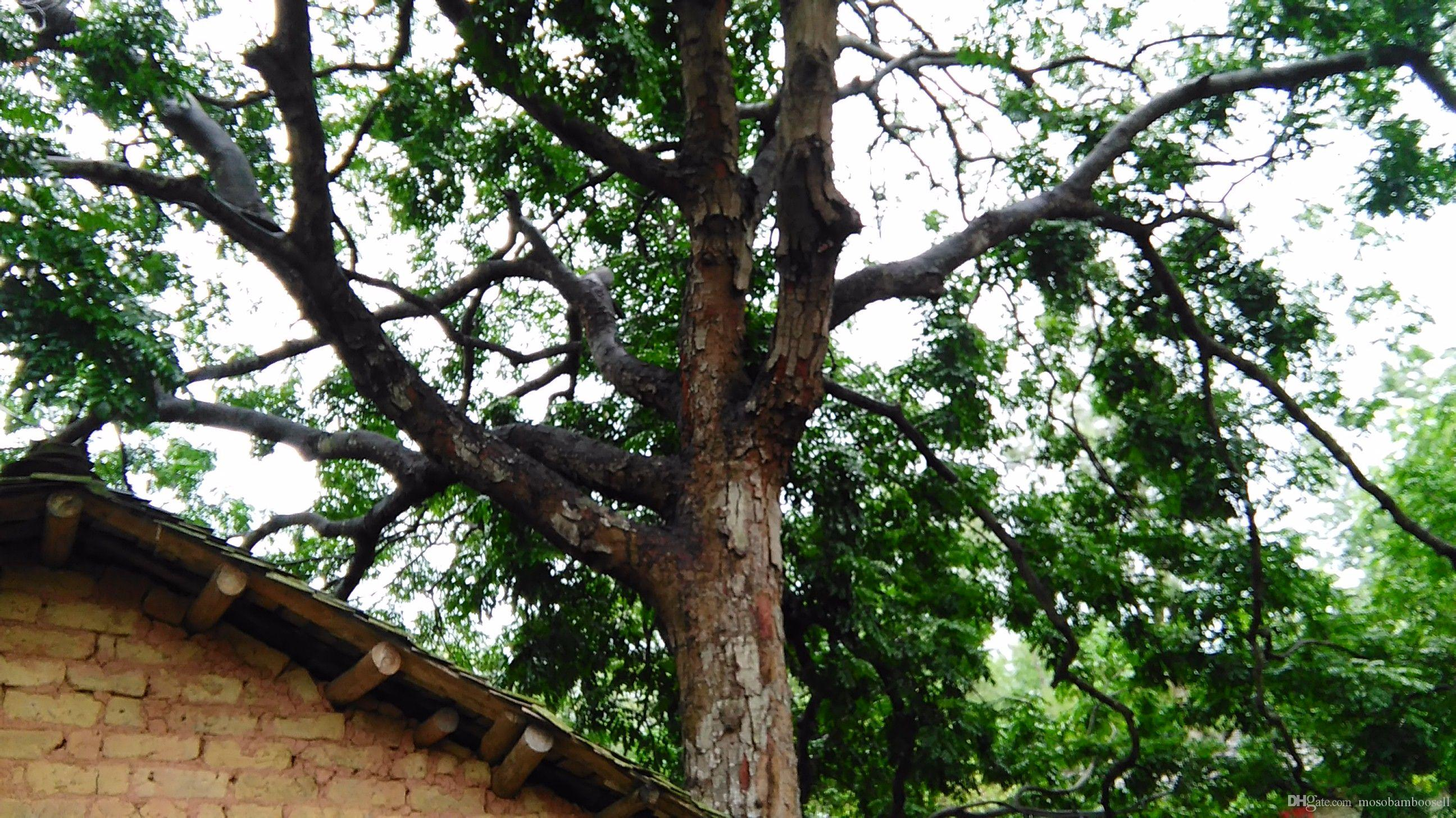 Wholesale China Scented Rosewooddalbergia Odorifera T Chen Yellow